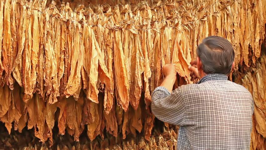 Откупувачите на тутун ќе ги отворат пунктовите, а ќе откупат и плус 10% од договорените количини?!